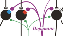 Dopamine release promoting synaptic plasticity!